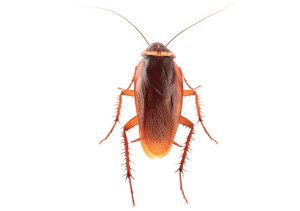 We provide specialist pest control services for cockroach problems in the North West.