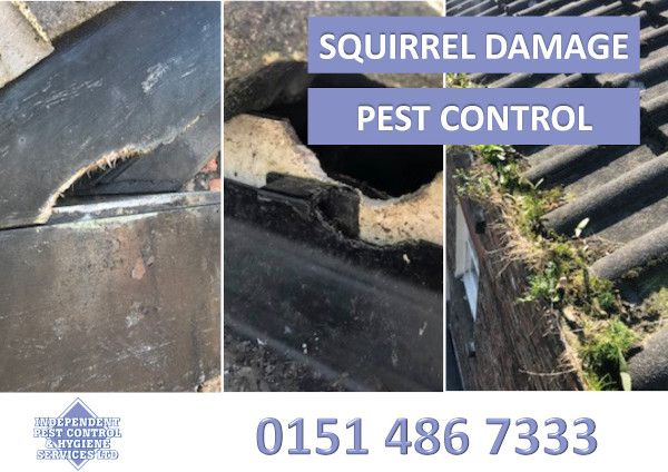 An image showing damage by squirrels as part of our pest control services.