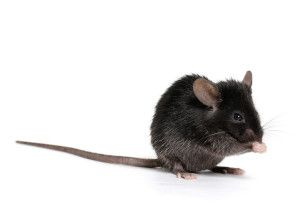 We provide specialist pest control services for mice problems in North Wales