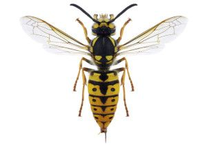 We provide pest control services for wasp problems in North Wales