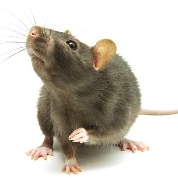 We provide pest control services for rat problems in Merseyside